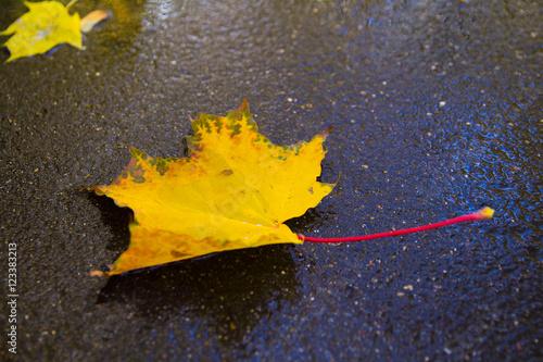 gray yellow autumn maple leaf on the asphalt Leia wet, autumn, October, November Canvas Print