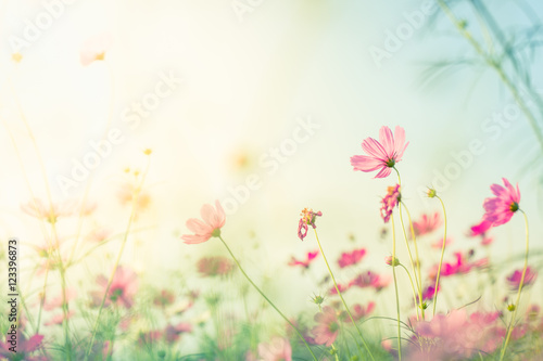 cosmos-flowers-with-blur-background