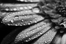 Gerbera Flower Close Up Beautiful Macro Photo With Drops Of Rain