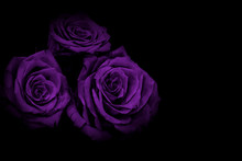Lilac Roses Black Background