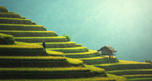 Rice Fields On Terraced Of Mu ...