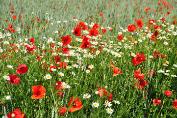 FototapetaSummer flowers on meadow