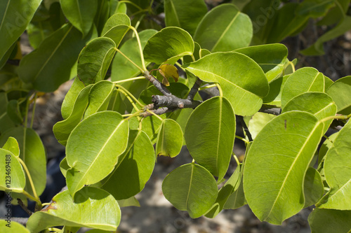 Fotografie, Obraz  Closeup leaves of deadly manchineel tree