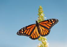 Female Monarch Butterfly Feeding On White Flower Cluster Of A Butterfly Bush, Against Blue Sky