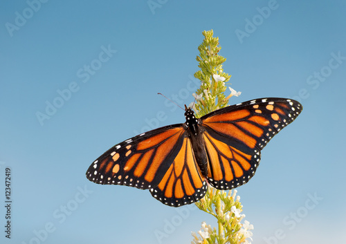 Fotobehang Vlinder Female Monarch butterfly feeding on white flower cluster of a Butterfly bush, against blue sky