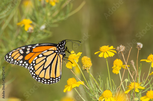 Fotografie, Obraz  Migrating Monarch butterfly feeding on a Sneezeweed in fall