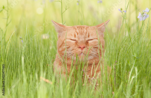 A blissfully happy orange tabby cat enjoying life in tall spring grass in a shade, with his eyes closed