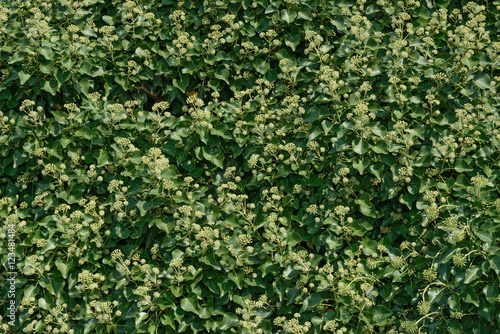 Fototapety, obrazy: Foliage of Clematis with many formed blossom clusters as backgro