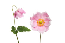 Two Anemone Flowers