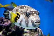 Arothron Hispidus - Exotic Spotted Fish
