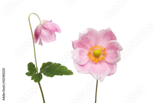 Fotografia Two Anemone flowers