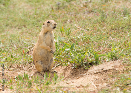 Fotografie, Obraz  Black-tailed Prairie Dog standing up next to his burrow entrance, observing his
