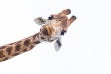 Giraffe's Head Isolated Against A White Sky
