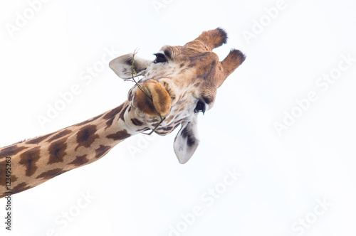 Deurstickers Giraffe Giraffe's Head Isolated against a white sky