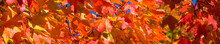 Banner Of Brightly Colored Fall Maple Leaves In Autumn Glory