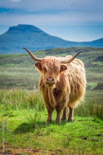 Spoed Fotobehang Schotse Hooglander Brown highland cow in Scotland, United Kingdom