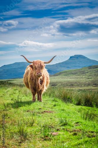 Fototapeta Furry highland cow in Scotland, United Kingdom obraz