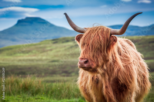 In de dag Koe Furry highland cow in Isle of Skye, Scotland