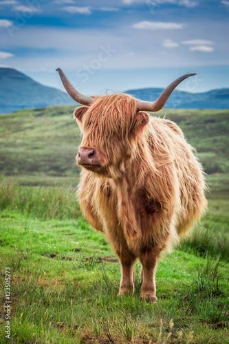 Spoed Fotobehang Schotse Hooglander Grazing highland cow in Scotland, United Kingdom