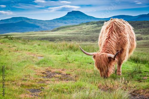 Spoed Fotobehang Schotse Hooglander Highland cow in Scotland, United Kingdom