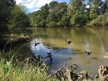 Brown Ducks And Birds Flying Popular Audubon Park In New Orleans, Louisiana.