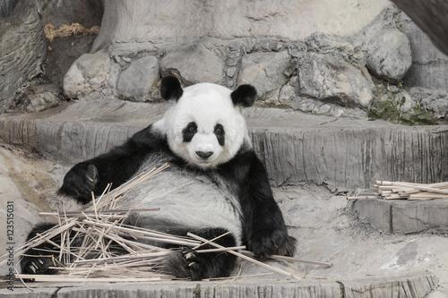 Stickers pour portes Panda Cute Giant panda eating bamboo - soft focus