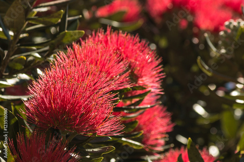 Closeup Of New Zealand Christmas Tree Flowers In Bloom Buy This