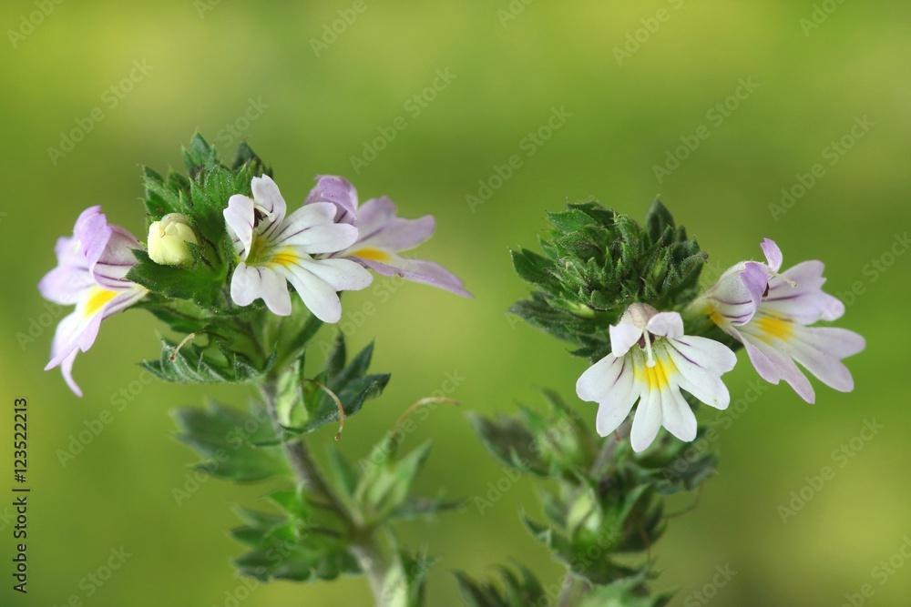 Photo  Eyebright, Euphrasia stricta, medinal herb