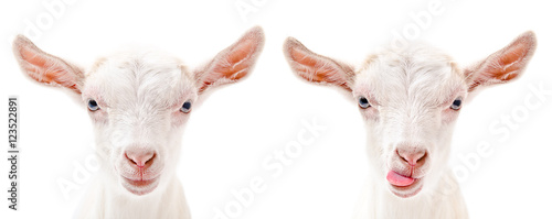 Portrait of a serious and fun goats