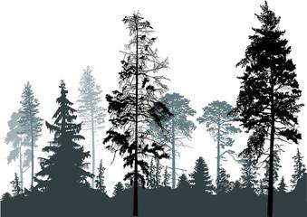 Fototapeta samoprzylepna pine grey forest silhouettes isolated on white