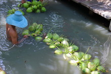 Young Man Is Pick Up Coconuts In Canal