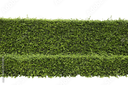 Cuadros en Lienzo Green hedge or Green Leaves Wall on isolated, ,Objects with Clipping Paths