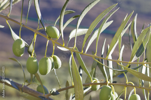 Wall Murals Closeup image of green olives in a branch with afternoon light.