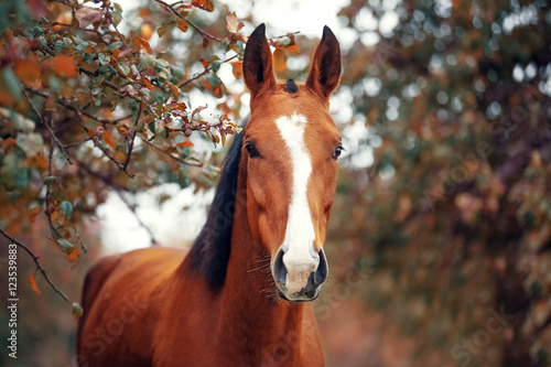 Portrait of a bay Hanoverian horse Wallpaper Mural