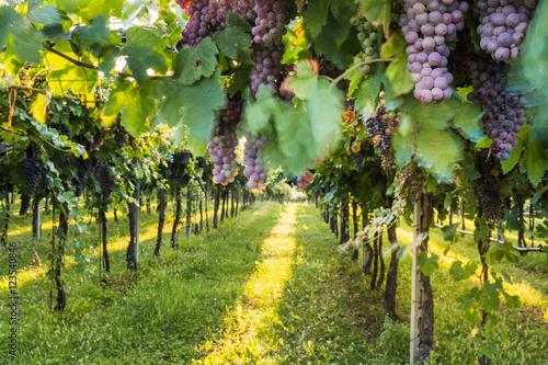 Photo sur Aluminium Vignoble Red grapes in a Italian vineyard - Bardolino. Selective focus.