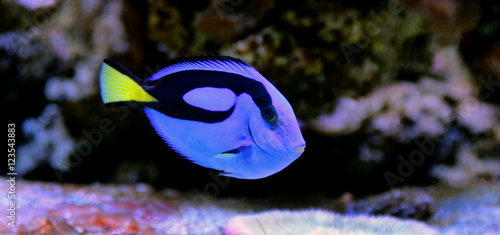 Real Dory (Blue Tang) Wallpaper Mural