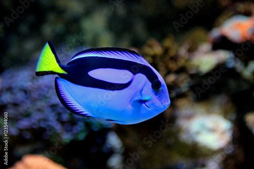 Fotografie, Tablou  Real Dory (Blue Tang)