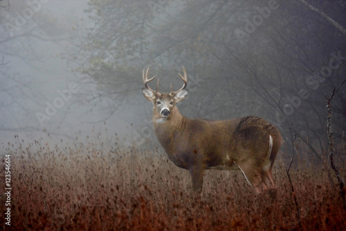 Fotobehang Hert White-tailed deer buck with huge neck in the forest fog