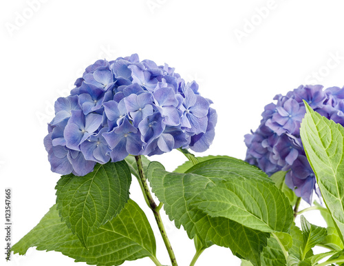 Spoed Foto op Canvas Hydrangea Purple hydrangea isolated