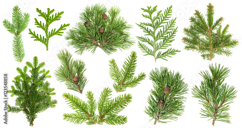 Set of coniferous tree branches. Spruce pine thuja fir cone