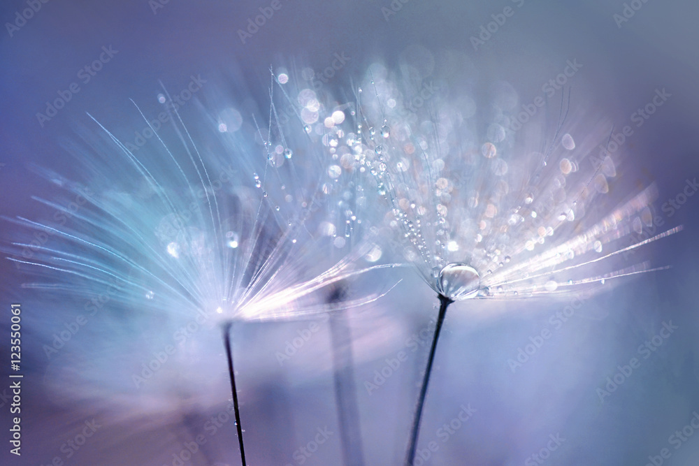 Fototapety, obrazy: Beautiful dew drops on a dandelion seed macro.  Beautiful blue background. Large golden dew drops on a parachute dandelion. Soft dreamy tender artistic image form.