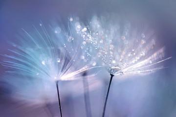 Naklejka Beautiful dew drops on a dandelion seed macro. Beautiful blue background. Large golden dew drops on a parachute dandelion. Soft dreamy tender artistic image form.