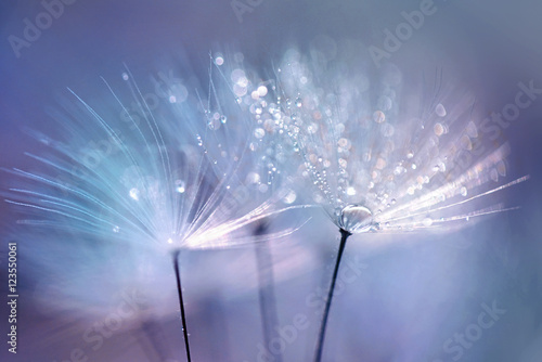 Photo sur Aluminium Pissenlit Beautiful dew drops on a dandelion seed macro. Beautiful blue background. Large golden dew drops on a parachute dandelion. Soft dreamy tender artistic image form.