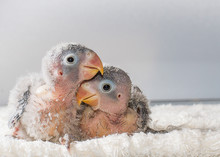 Two Baby Lovebirds On White Cloth On Blurred Background