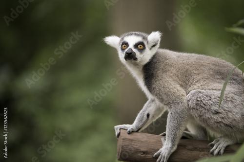 Vászonkép  Ring-tailed lemura