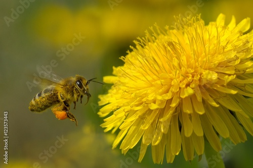 bee on a yellow dandelion 6