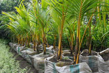 Coconut Tree In Nursery Bags R...