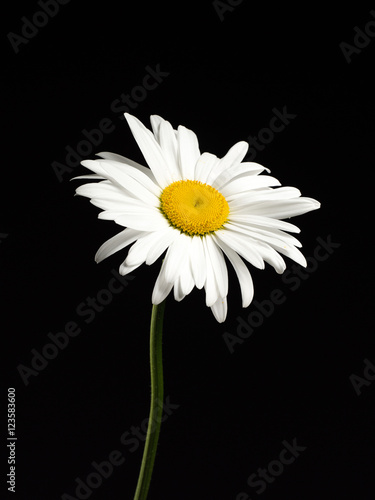 Foto op Canvas Madeliefjes Beautiful Daisy isolated on a black background.