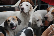 Pack Of Fox Hounds Waiting For The Hunt