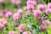 Clover Flowers In The Field Background